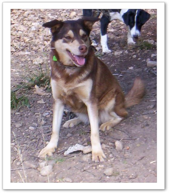 MILKA X Husky née en 2010 non fugueuse, sociable REFU13 Bv000023